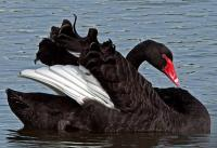 Черный лебедь с белыми крыльями  002.jpg