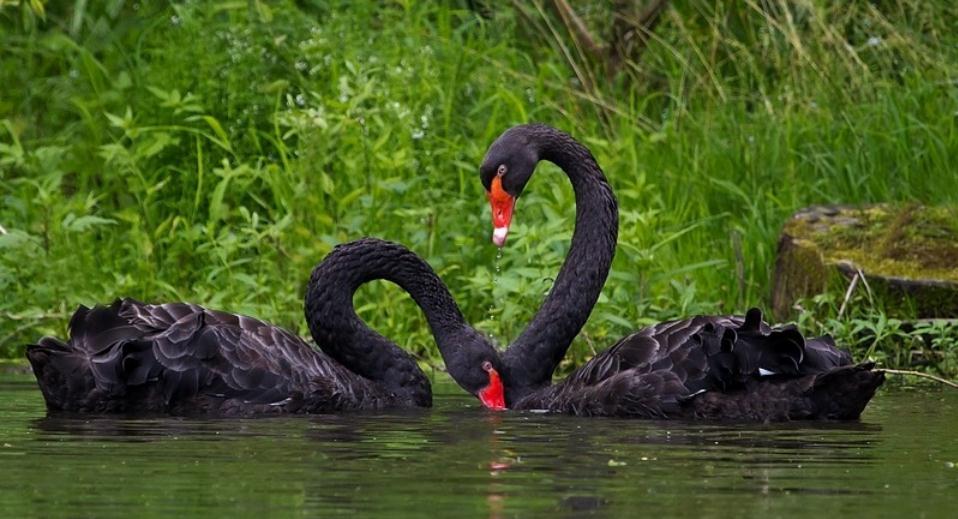 белые и черные лебеди видео