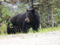 Медведь  004.jpg